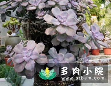 紫乐怎么养成悬崖桩,紫乐老桩养出好状态上色